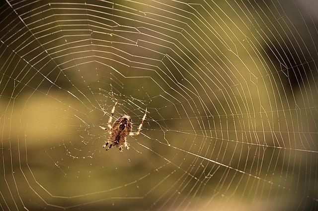 pavouk ve své síti
